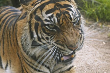 A portrait of a snarling tiger. Motion blur on vibrissae and lower jaw.