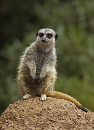 A meerkat (Paracynictis selousi) is guarding hisher colony. Imagens