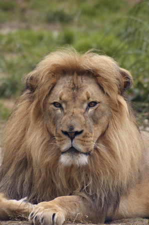 scarred: A portrait of african lion with a scarred nose, proudly staring at the viewer.