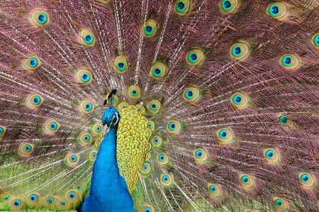 Indian Blue Peacock (Pavo cristatus)