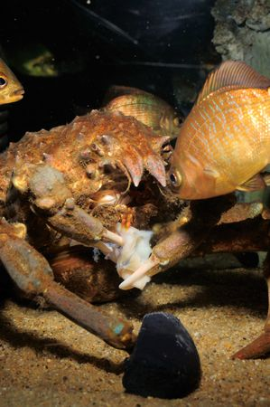 A shot of crab snacking on some morsel of flesh with curious fish looking on