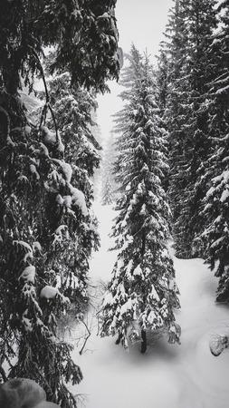 Fir trees under the snow in mountain forest in winter. Zdjęcie Seryjne
