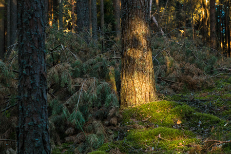 Sunlight on a spruce bark in forest