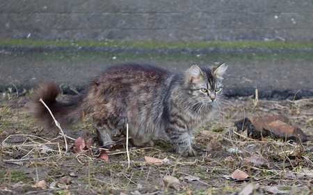 Fluffy angry cat on spring ground
