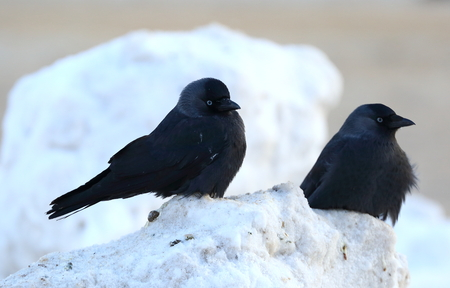 Two jackdaws in the snow Reklamní fotografie