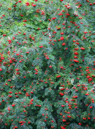 Green bushes of mountain ash with red fruits