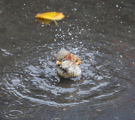 The urban Sparrow bathing in the puddle on the stone slabs