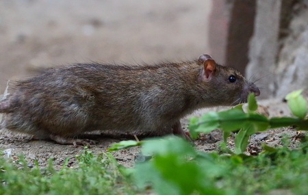 City rat sneaks around sniffing