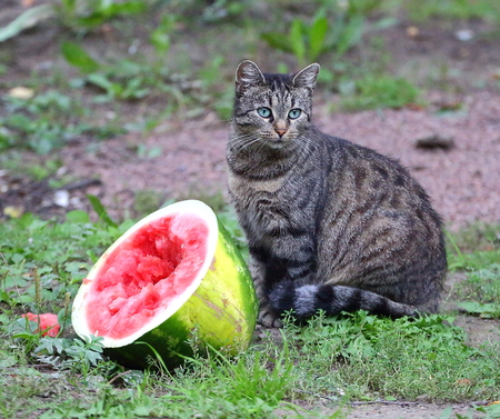 Gray striped street cat sitting near a broken watermelon Stock Photo