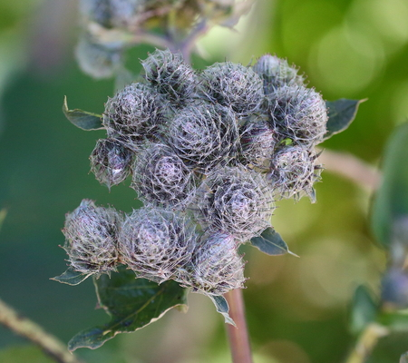 The burdock weed plant Archivio Fotografico - 124874968