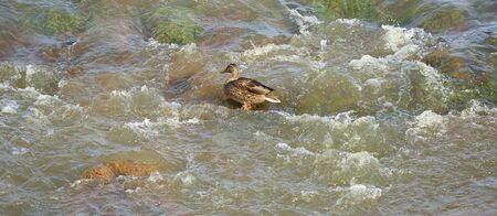 Wild duck in the boiling water on the river threshold Stock Photo