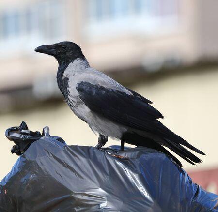 Crow sitting on a black plastic garbage bag