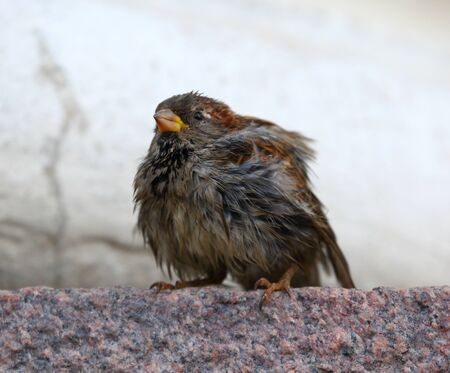 Wet tousled Sparrow sits on a granite wall