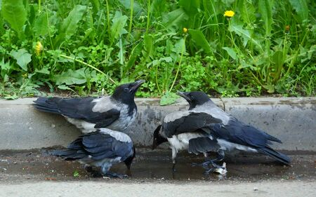 Four young crows in a puddle on the asphalt at the curb