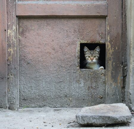 A gray kitten looks out of a hole in an old dirty door