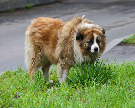A shaggy red stray dog in the green grass Banco de Imagens - 153168399