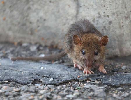 A small rat against a gray concrete wall Banco de Imagens - 154573162