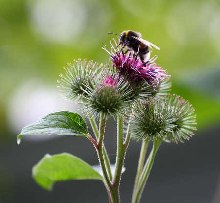 The bee pollinates the purple flowers of the wild agrimony Banco de Imagens - 152889274