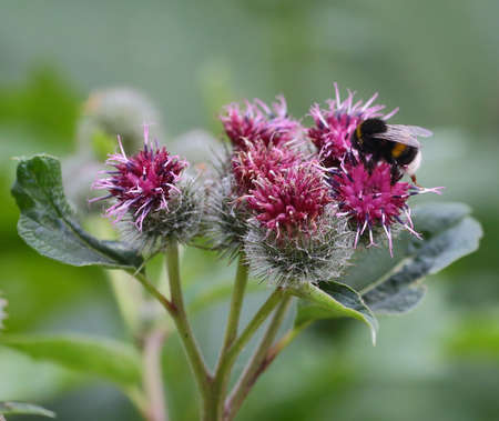 The bee pollinates the purple flowers of the wild agrimony Banco de Imagens