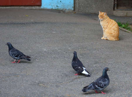 A red cat watches pigeons on the pavement Banco de Imagens - 152928330