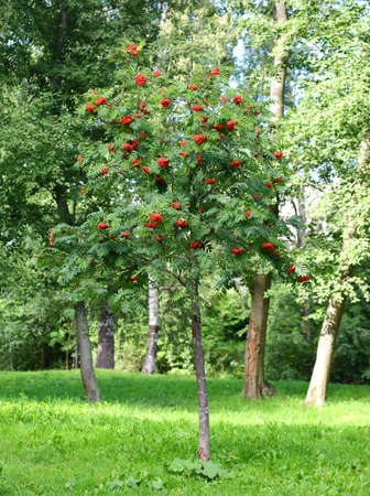 A small Rowan tree with clusters of red berries in the Park Banco de Imagens - 153366223