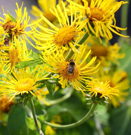 A bee pollinates the yellow flowers of a garden plant Banco de Imagens - 152982377