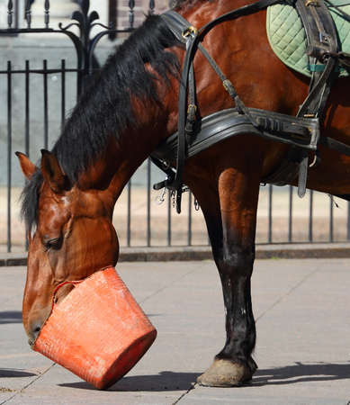 A Bay horse drinks from a plastic bucket Banco de Imagens - 153089345