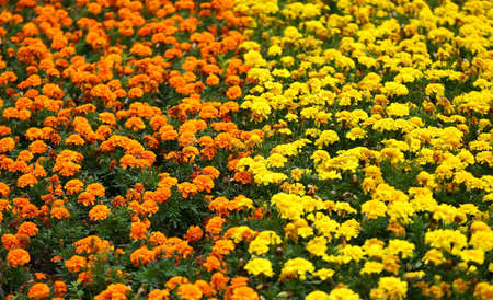 Field of blooming yellow and orange carnations Banco de Imagens - 153345258