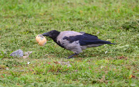 A crow with a moldy bun in its beak in the green grass Banco de Imagens - 153343895