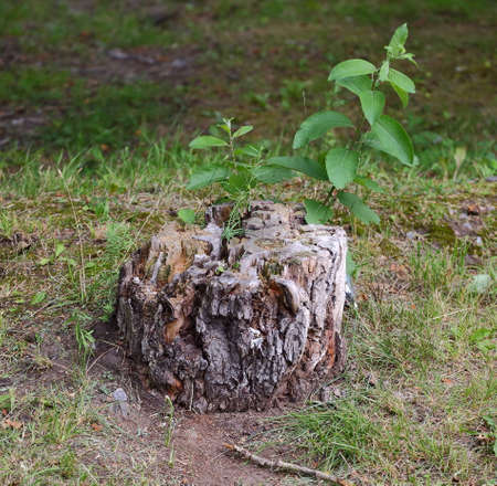 An old dry stump with a green shoot Banco de Imagens - 153383654