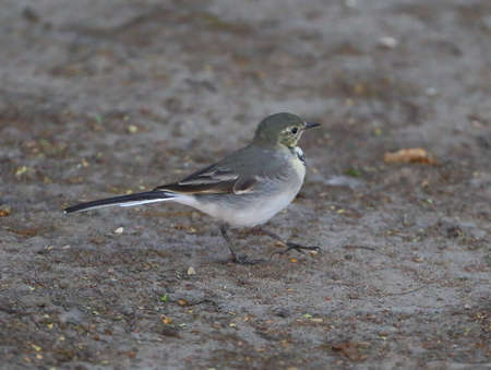 The little Wagtail goes by earth Banco de Imagens - 153645867