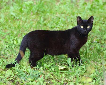 Yellow-eyed black cat in green grass Banco de Imagens - 154001488