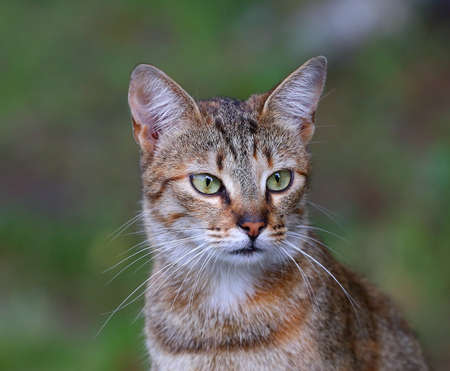 Portrait of a green-eyed multicolored cat Banco de Imagens - 154522604