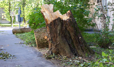 Broken by a hurricane and sawn old big tree on the street