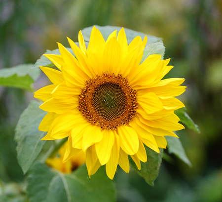 Blooming decorative sunflower in the garden Banco de Imagens
