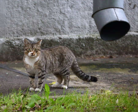 Gray tabby cat at the wall with a drainpipe Banco de Imagens - 155415234