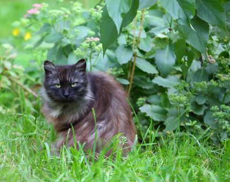 Green-eyed fluffy cat of ash color in green grass Banco de Imagens