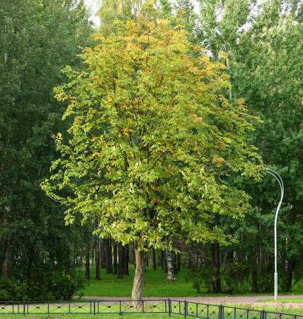 Autumn light green tree in the Park