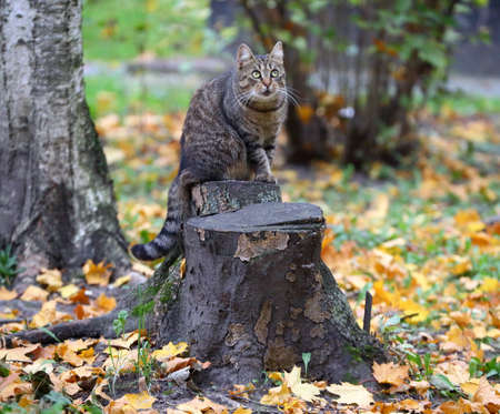 A gray tabby cat sits on a stump in fallen yellow leaves Banco de Imagens