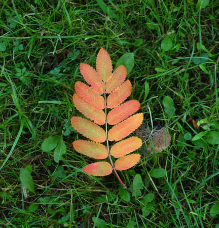 Fallen yellow-red leaves of mountain ash in the green grass