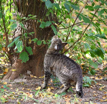 A gray tabby cat sniffs the leaves of an autumn tree