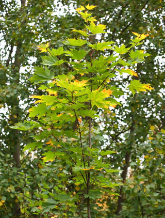 Young autumn maple with yellow green leaves Banco de Imagens