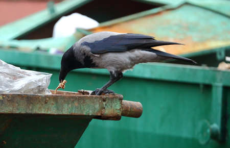 A crow pecks at food on the edge of a green dumpster