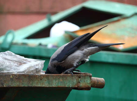 A crow searches for food in a green trash container Banco de Imagens