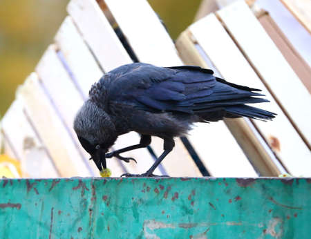 A jackdaw pecks at a grape berry on the edge of a green garbage container
