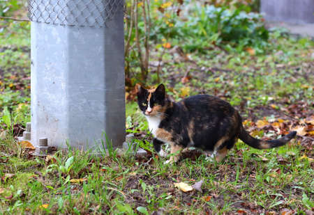 Spotted black-and-red cat on the autumn ground next to the concrete post attachment