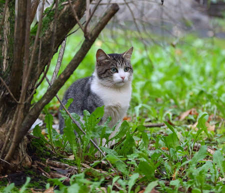 Gray-white green-eyed cat sitting in the grass under a Bush