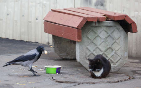 A crow steals food from a sleeping cat