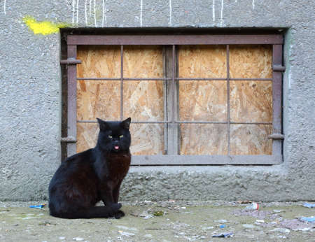 A black cat with its tongue hanging out sits by the basement window Banco de Imagens
