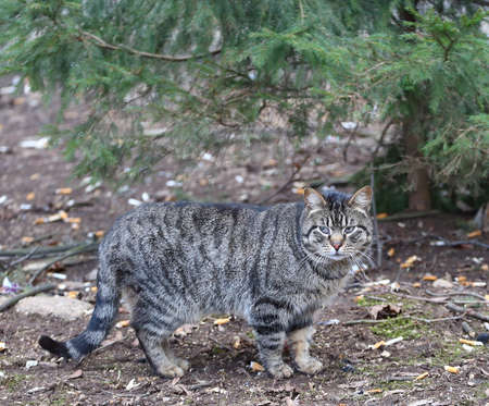 A gray tabby cat stands under a spruce tree Banco de Imagens